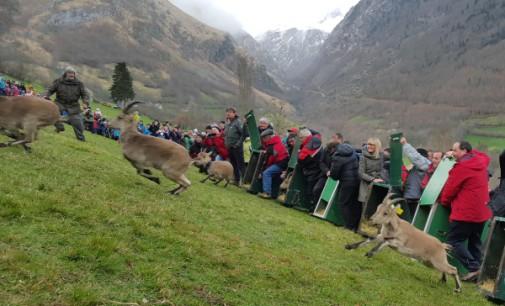 Cabras monteses del Parque Nacional de la Sierra del Guadarrama repoblarán el Pirineo francés