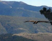 Veinte nuevos buitres negros han sido liberados y vuelan ya libres en la Sierra de la Demanda