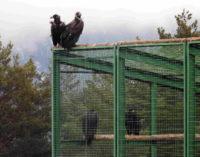 GREFA dedicará el Día de las Aves a los buitres, por su papel clave al prevenir la propagación de enfermedades