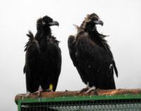 El buitre negro vuelve a criar en el Sistema Ibérico, tras más de medio siglo extinguido