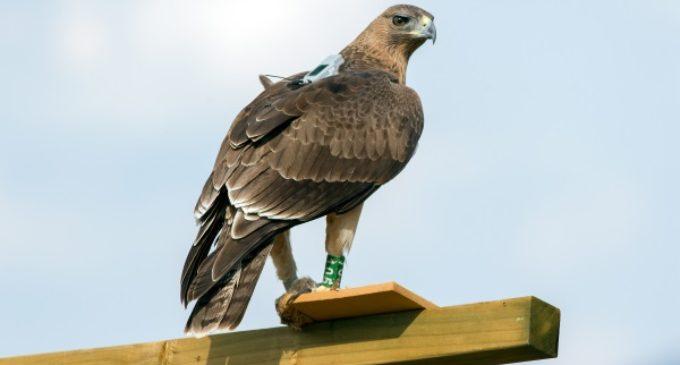 Un proyecto avalado por la UE convierte en prioritaria la conservación del águila de Bonelli