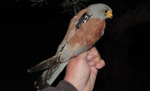 SEO/BirdLife y GREFA desvelan la migración del cernícalo primilla con todo detalle
