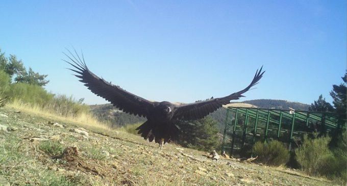 El Proyecto Monachus logra el regreso del amenazado buitre negro al norte peninsular