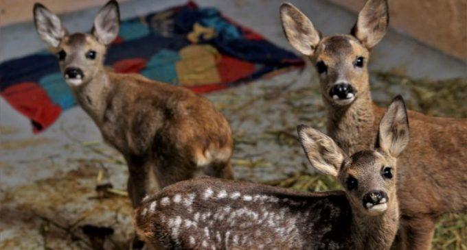 GREFA acogió a casi 3.500 animales huérfanos en 2017, un récord para este hospital de fauna salvaje