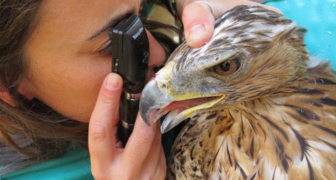Más de 5.600 animales ingresaron en 2016 en el Hospital de Fauna Salvaje de GREFA
