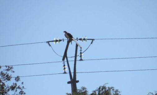 AQUILA a-LIFE logra que más de 1.200 postes eléctricos dejen de ser mortales para el águila de Bonelli