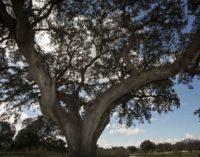 La Comunidad de Madrid crea un banco genético para clonar árboles singulares de la región