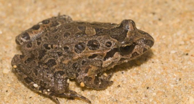 Detectados nueve puntos nuevos de reproducción de anfibios y reptiles en el Parque del Sureste de Madrid