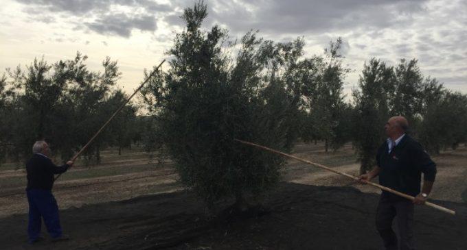 La Comunidad desarrolla proyectos de investigación agraria para mejorar el cultivo y rendimiento del olivar madrileño