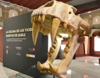 Casi 80.000 personas han visitado la exposición sobre la colina de los tigres dientes de sable del yacimiento del Cerro de los Batallones