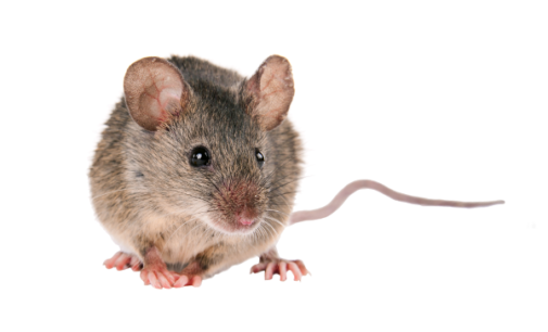 Majadahonda: El Ayuntamiento refuerza los sistemas de control y captura de roedores