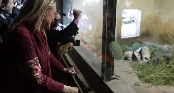 Nace en el Zoo madrileño la primera cría hembra de oso panda gigante y la Comunidad lo celebra