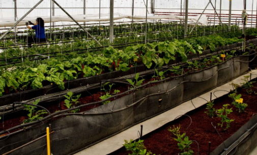La Comunidad ofrece a los agricultores 500.000 plantones de variedades hortícolas autóctonas