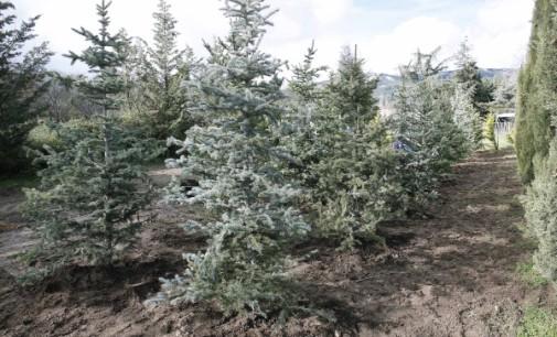 La Comunidad de Madrid recupera medio centenar de árboles navideños cedidos durante las fiestas