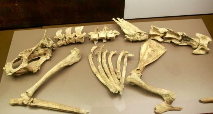 Se exponen restos del primer ejemplar de ciervo del Pleistoceno aparecido en España