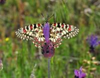 El 40% de las especies de mariposas de toda España está presente en el Hayedo de Montejo