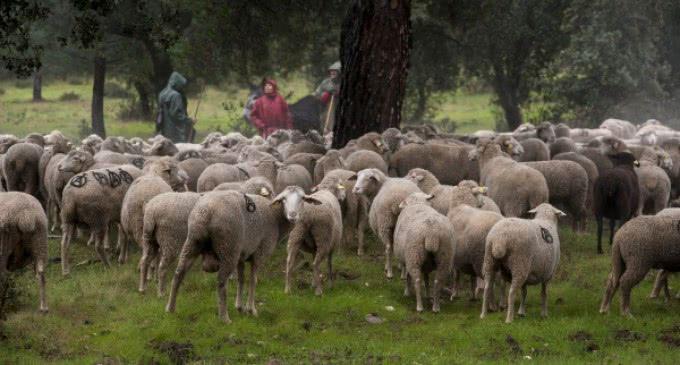 Más de 700 ovejas pastan en el monte de Boadilla como medida de prevención de incendios