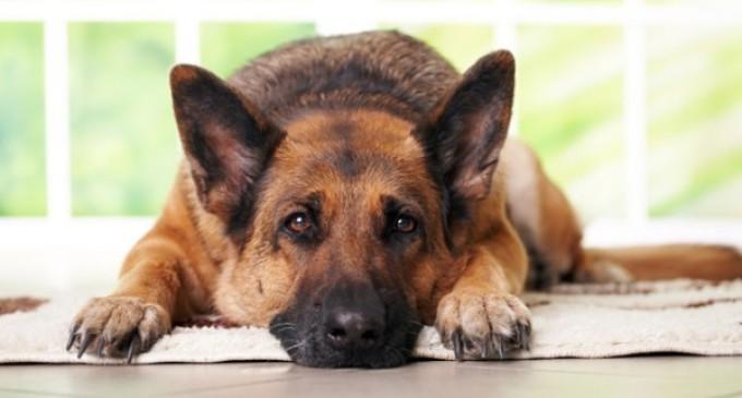 Majadahonda pone en marcha la identificación por ADN de los canes de la ciudad